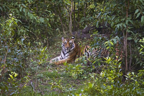 tiger- panthera tigris tigris. banbehi female, bandhavgarh tiger reserve, madhya pradesh, india - bengal tiger stock pictures, royalty-free photos & images