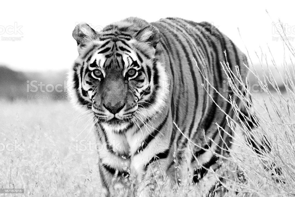 tiger, Panthera tigris, walking toward camera stock photo