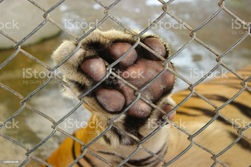 tiger paw stock photo