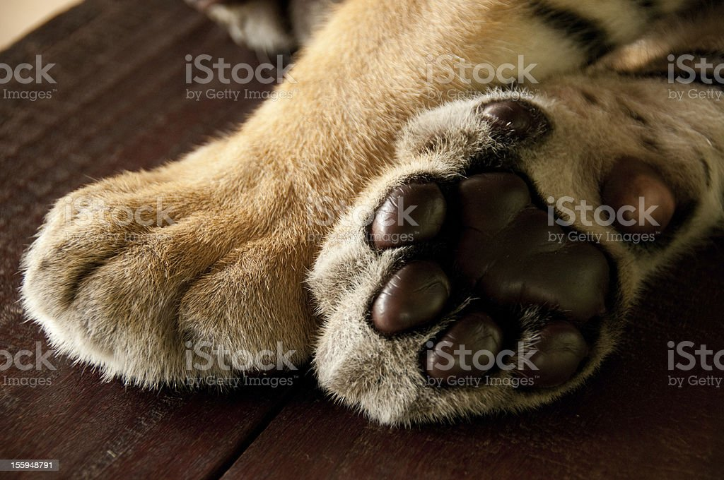 Tiger paws royalty-free stock photo