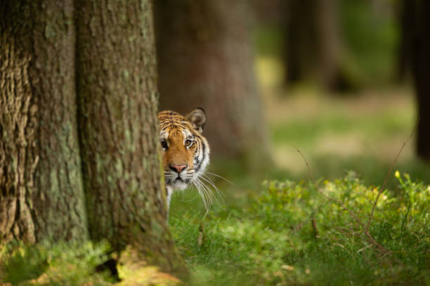 Tiger peeping from behind a tree. Dangerou animal in the forest. Siberian tiger, Panthera tigris altaica stock photo