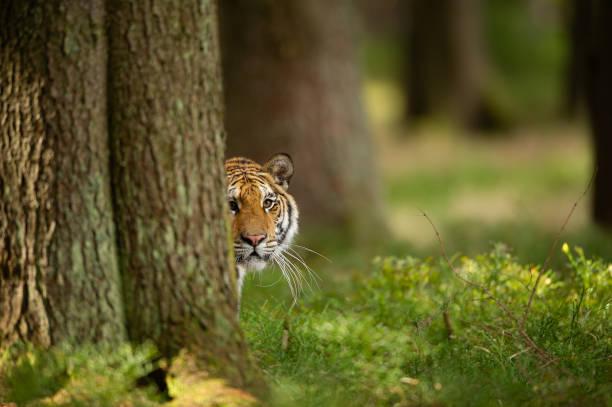 Tiger, der hinter einem Baum pflückt. Dangerou Tier im Wald. Sibirischer Tiger, Panthera tigris altaica – Foto