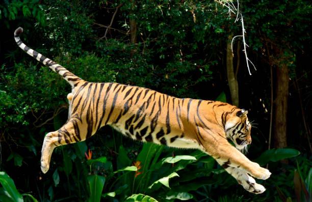 Tiger performing a jump picture id937210566?b=1&k=6&m=937210566&s=612x612&w=0&h=v 0kgwi2hcukztnjb mxgfewv4mwfgpwdemftbwdr7k=