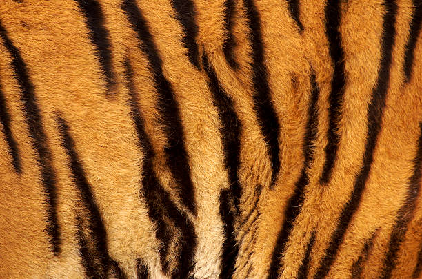 Best Tiger Print Stock Photos, Pictures & Royalty-Free