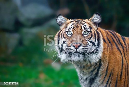 istock Tiger 1203979769