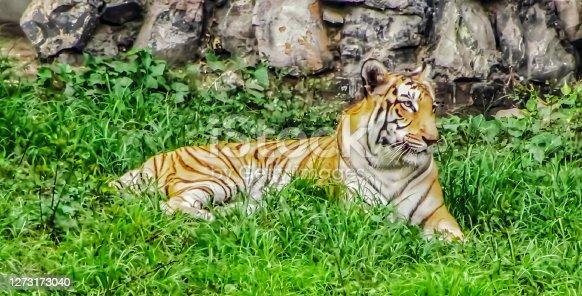 istock Tiger.. 1273173040