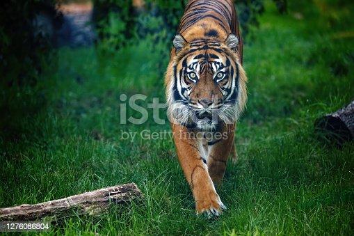 istock Tiger 1276086804