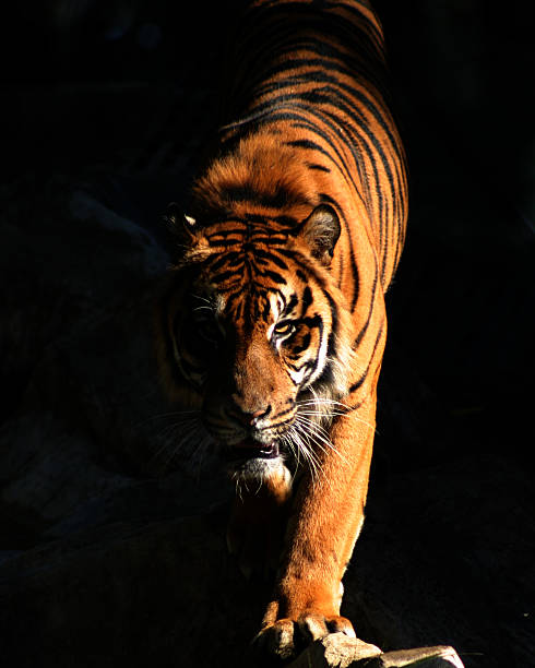 Tiger picture id157292018?b=1&k=6&m=157292018&s=612x612&w=0&h=otzs30eoc6rvovs5ac0cf2ltbqy8wwf3csxnggodlmq=