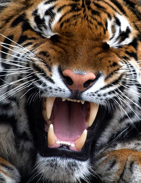 Tiger Tiger's jaws fang stock pictures, royalty-free photos & images