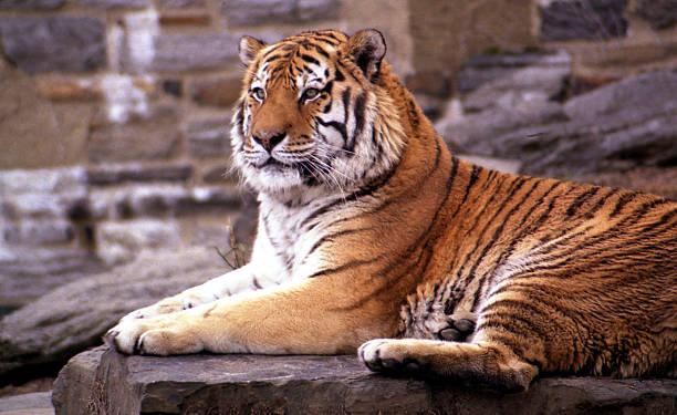 tiger - zoológico fotografías e imágenes de stock