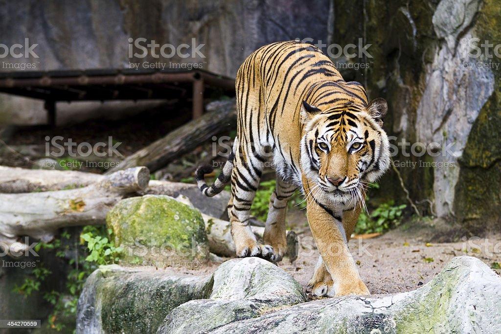 Tiger - foto de stock