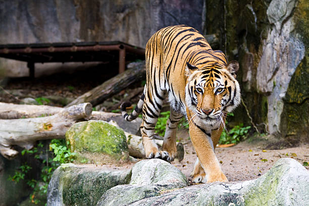 Tiger Tiger zoo stock pictures, royalty-free photos & images