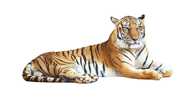 tiger - tiger stock photos and pictures