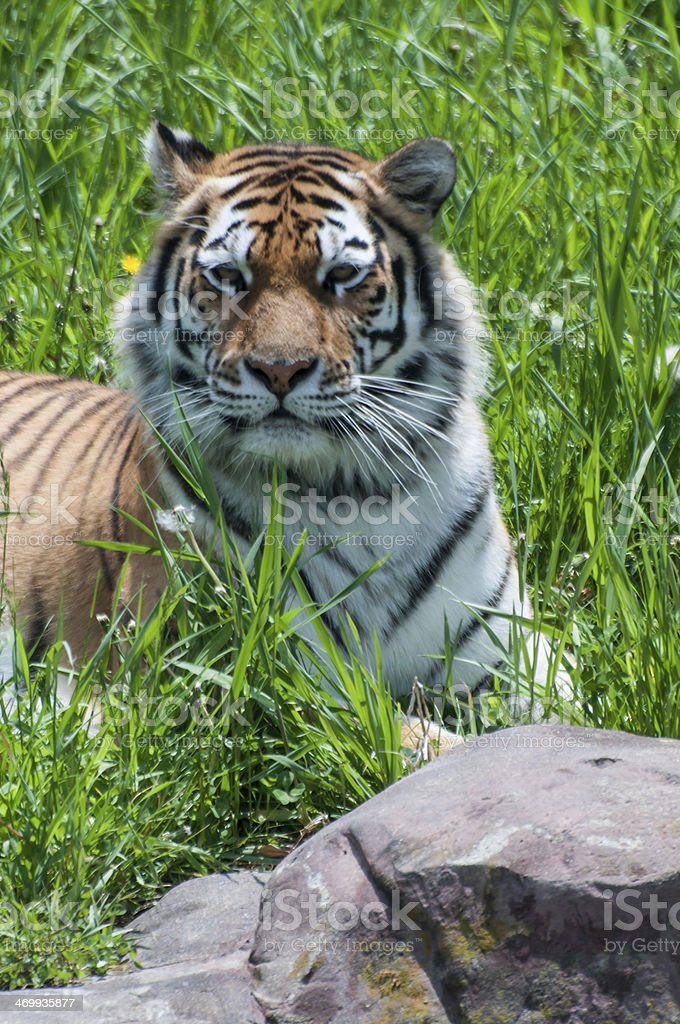 Tiger (Pantera tigris) royalty-free stock photo