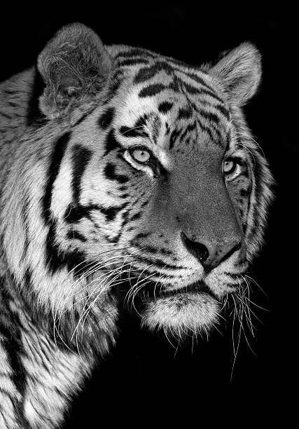 271 Tiger Black Background Stock Photos Pictures Royalty Free Images Istock