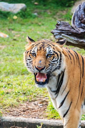 Tiger-foton och fler bilder på 2015