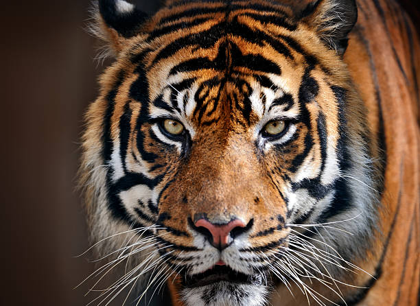 tiger - animals in the wild stock pictures, royalty-free photos & images