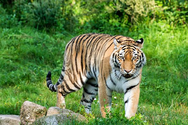 tigre - réserve naturelle photos et images de collection