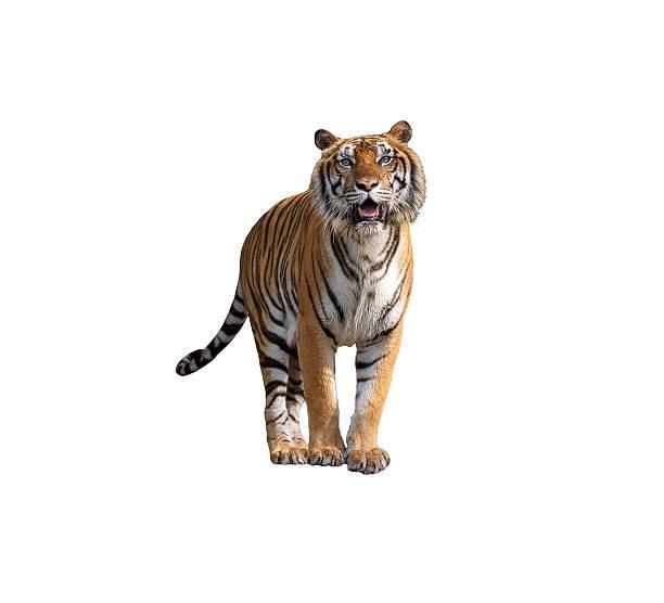 Tiger picture id522625250?b=1&k=6&m=522625250&s=612x612&w=0&h=auzaaohrati734vlj1m1rl4xtt6gnqpy6f34oplurx0=