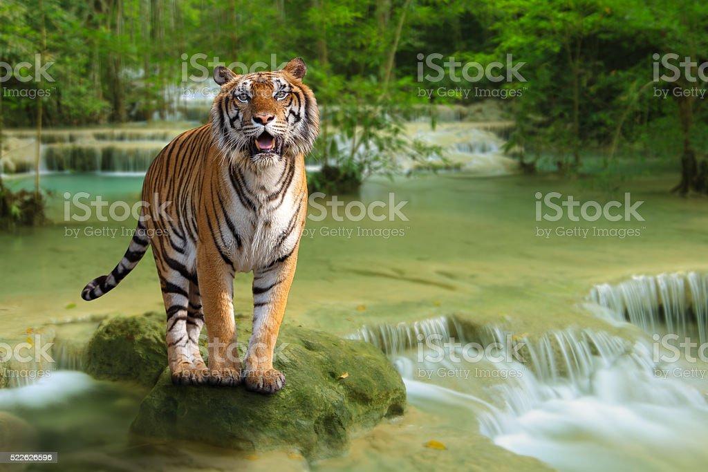 Tiger – Foto