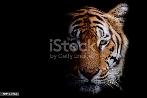 istock Tiger 532338906