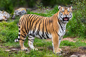 Tiger, Animals In The Wild, Wildlife,Siberian tiger