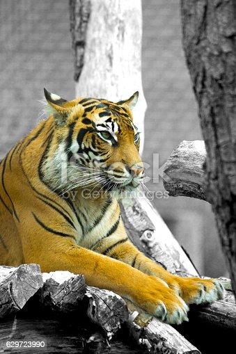 istock Tiger 629723990