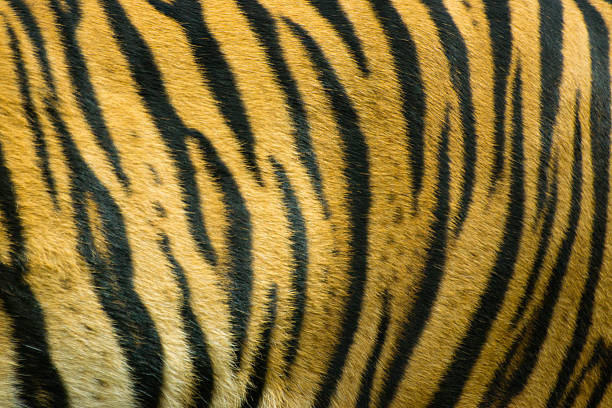 tiger - tiger fur stock photos and pictures
