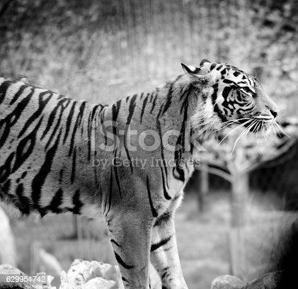 istock Tiger 629954742