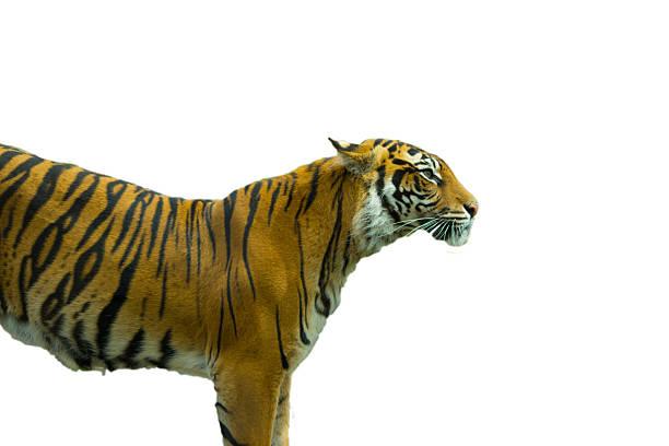 Tiger picture id629954768?b=1&k=6&m=629954768&s=612x612&w=0&h=svfqwwyfi v xviu6tz biugztkx6tlsvj p8bsgdu4=