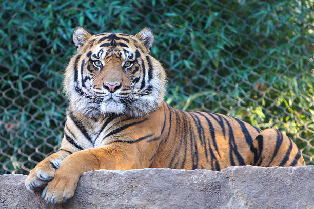 Tiger Beautiful Tiger looking directly at camera. wildlife reserve stock pictures, royalty-free photos & images