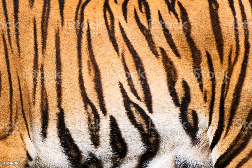 Tiger. stock photo