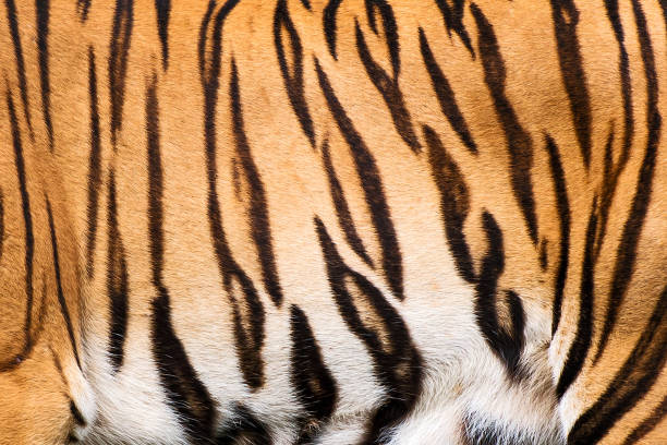 tiger. - tiger fur stock photos and pictures
