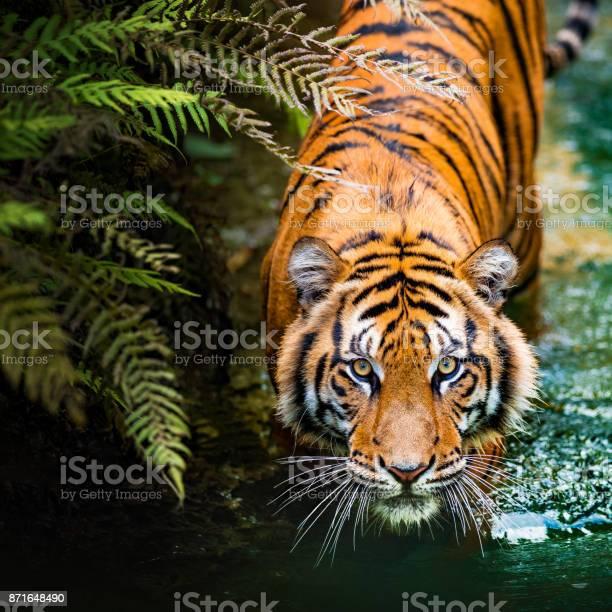 Tiger - Fotografias de stock e mais imagens de Animais caçando