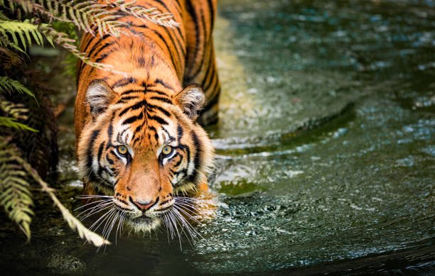 tigre - tigre photos et images de collection