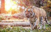 a siberian tiger walking