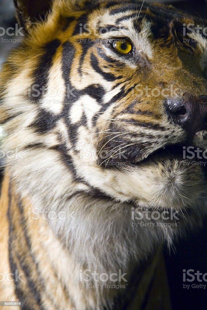 Tigre foto stock royalty-free