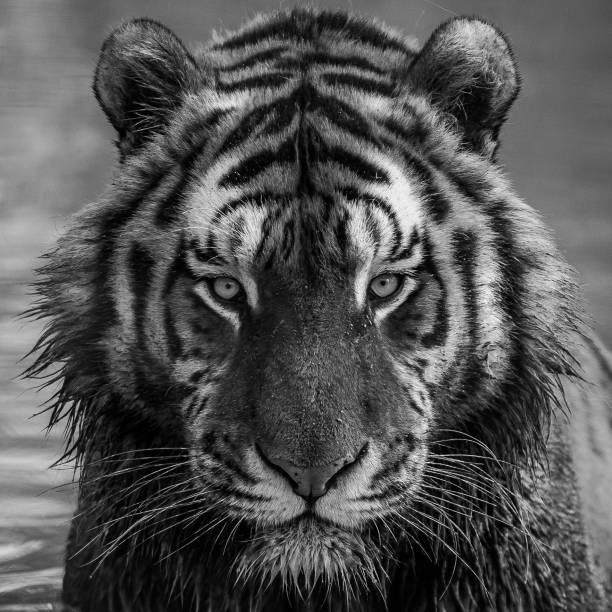 Tiger picture id968799656?b=1&k=6&m=968799656&s=612x612&w=0&h=pbtsdbloiqubnzsf9xiowexoic 2jrz4vcwhunrsu6q=
