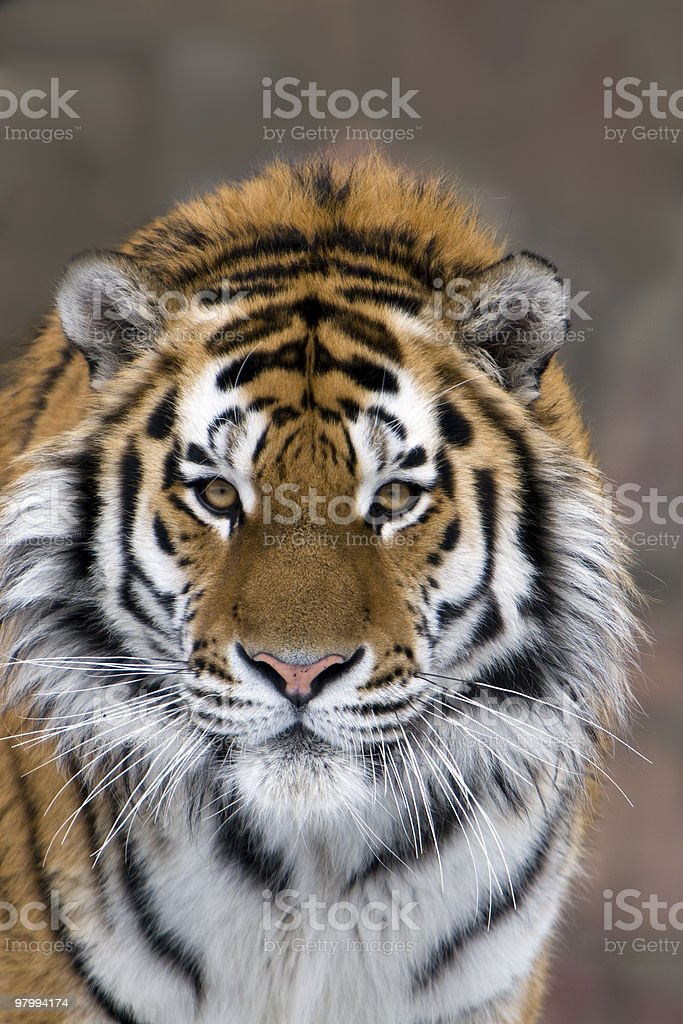 Tiger royalty free stockfoto