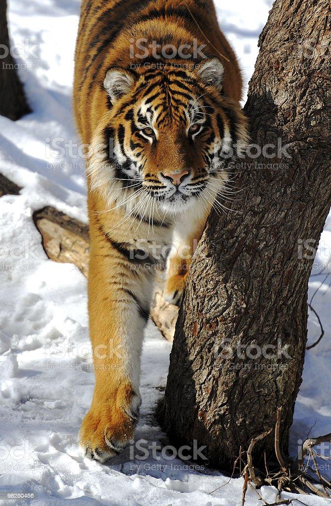 Tiger royalty-free 스톡 사진