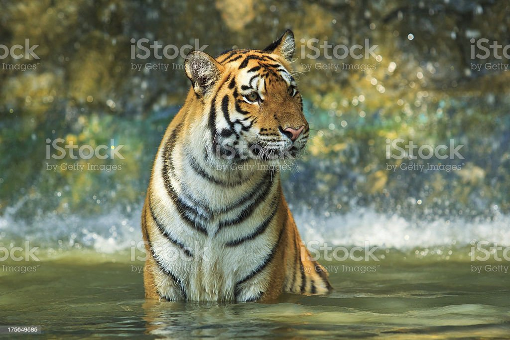 Tiger playing water royalty-free stock photo