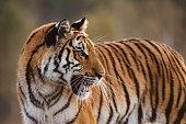 Tiger portrait. Tiger in wild nature. Action wildlife scene, danger animal. eautiful Siberian tiger in tajga, Russia.