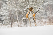 Siberian tiger jump in snow in a winter taiga. Tiger in wild winter nature. Danger animal. Siberian tiger in the winter taiga. Snowflake with beautiful Siberian tiger in tajga, Russia.