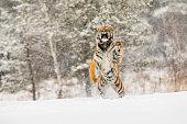 Siberian tiger jump in snow in a winter taiga. Tiger in wild winter nature. Danger animal. Big tiger in the winter taiga. Snowflake with beautiful Siberian tiger in tajga, Russia.