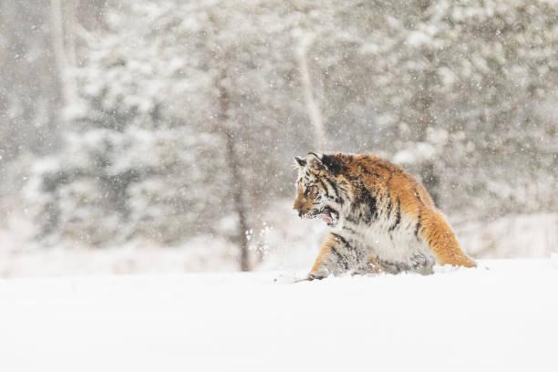 Tiger-Porträt im kalten Winter. Tiger im wilden Winter Natur. Tier-und Pflanzenwelt actionszene, Gefahr Tier. – Foto