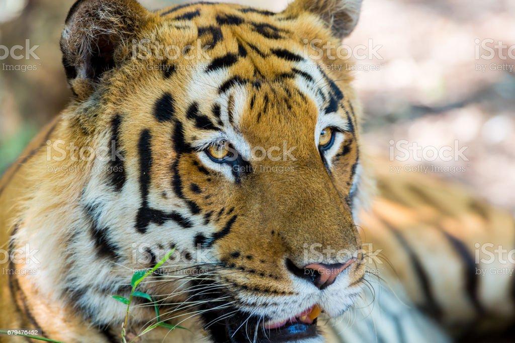 Tiger portrait, India. 免版稅 stock photo