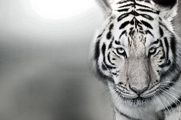 Tiger, portrait of a bengal tiger. stock photo