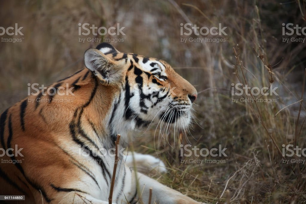 Tiger, portrait of a tiger stock photo