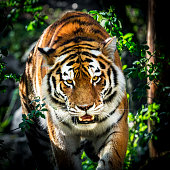 Portrait of tiger in the forest. The tiger walking through the undergrowth. Late afternoon sun highlights the orange color of its fur. Its cold, steady gaze inspires the fear and the respect. Characteristic patterns and textures of fur are clearly visible.
