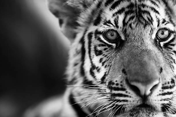 Tiger Portrait stock photo